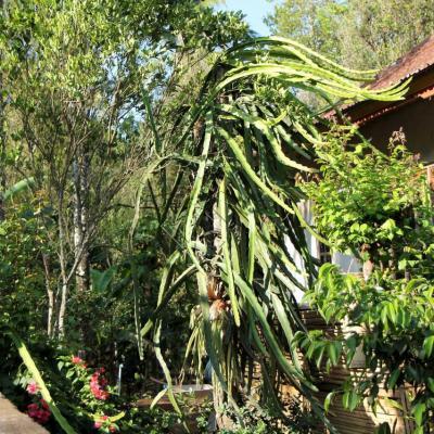 Le cactus sur lequel pousse le fruit du dragon