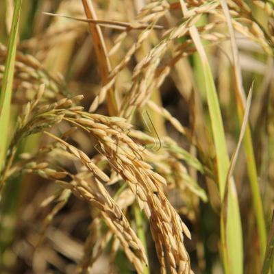 Le riz, d'un jaune doré, peut être récolté