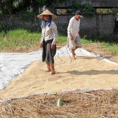 En plein centre de Ubud, une autre étape de la récolte du riz !