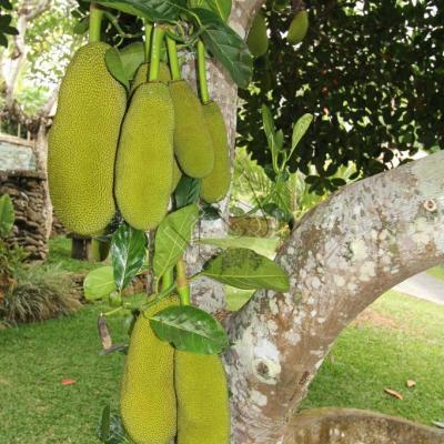 Le nangka, ce fruit peut atteindre 20 kg !