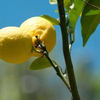 Avec le raisin, le citron est sans aucun doute le fruit star des Cinque Terre