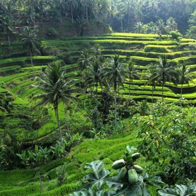 les rizières en terrasses de Tegallalang et papayes en 1er plan
