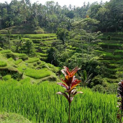 Les rizières de Tegallalang, vues du Dewi Café