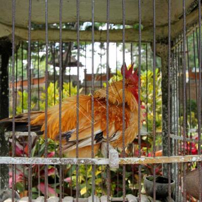 A Bali la vie d'un coq ne vaut pas cher, mais ça peut rapporter gros