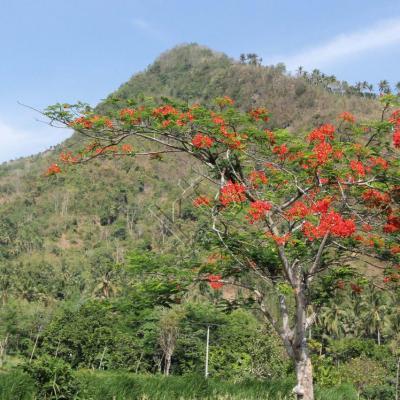 L'acacia flamboyant