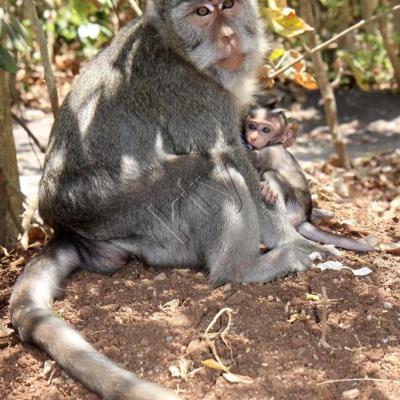 Le Pura Luhur Ulu Watu abrite des dizaines de singes gris