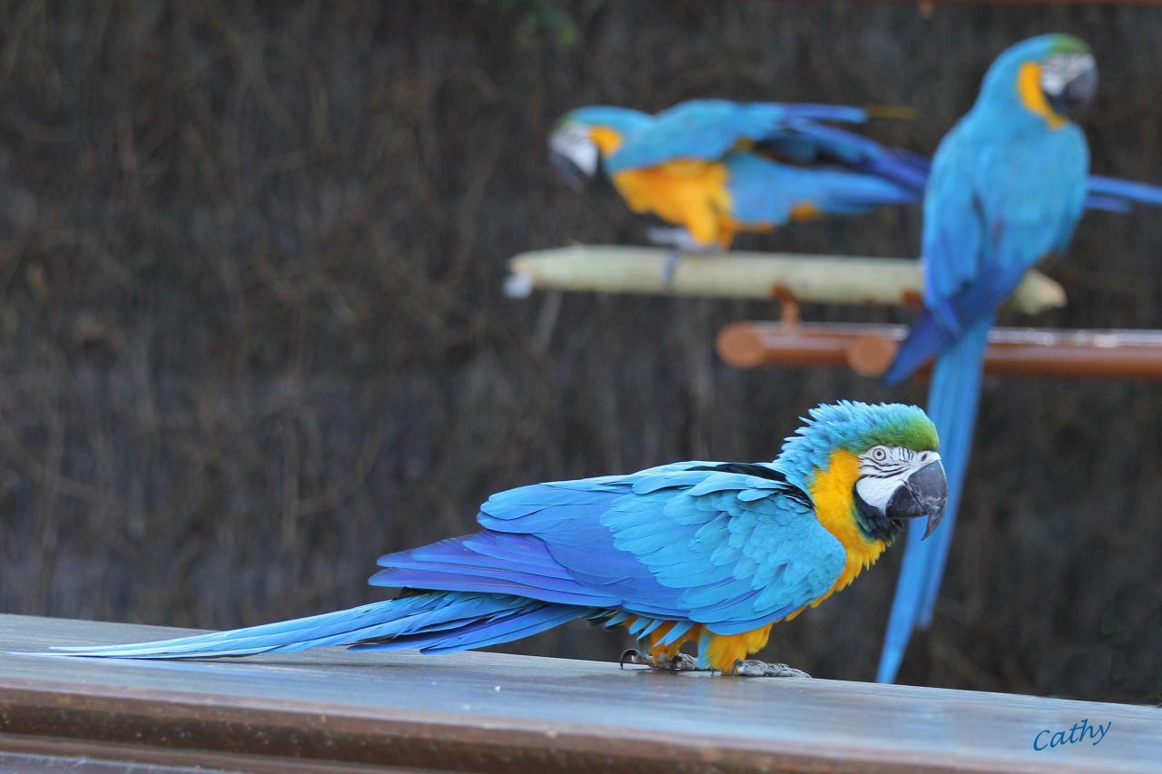 Bleu comme ... les perroquets du zoo de la Palmyre