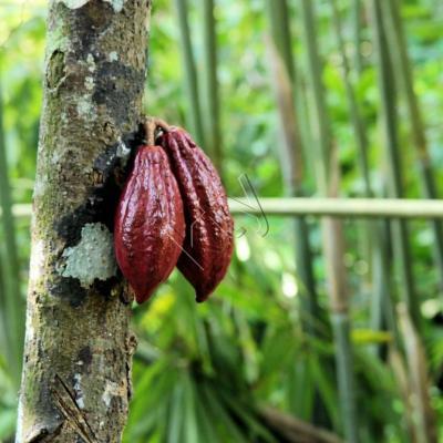 cacao bien mûr