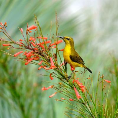 Petit oiseau de Singapour