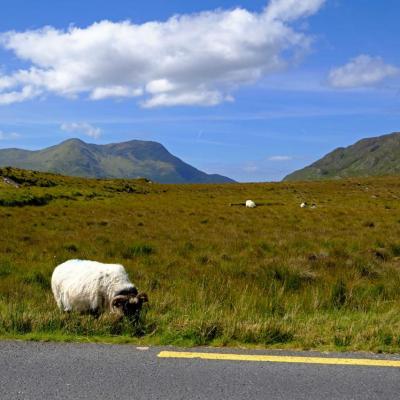 Les moutons font parties intégrantes des paysages irlandais