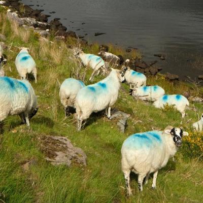 Bleu comme ... les tâches sur certains moutons irlandais ...