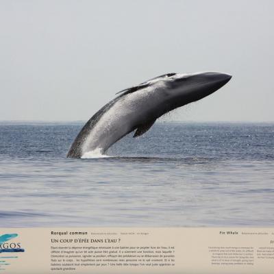 Partenaire de Pélagos (protection des cétacés) photo du Rorqual