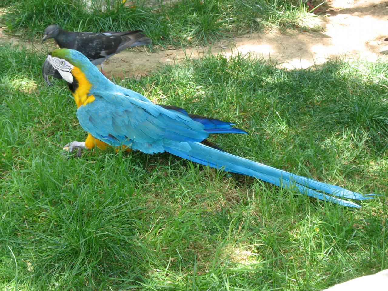 bleu comme ... Un perroquet du zoo de Monaco