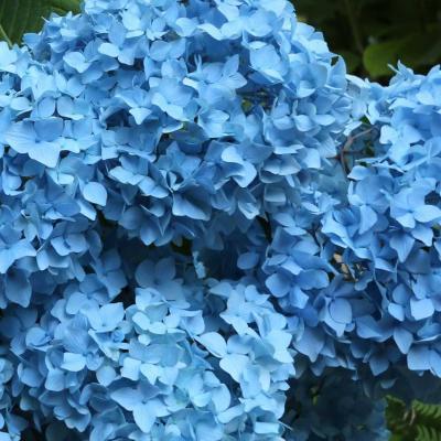 Bleu comme ... les hortensias du Puy du Fou