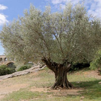 un des 3 oliviers millénaires