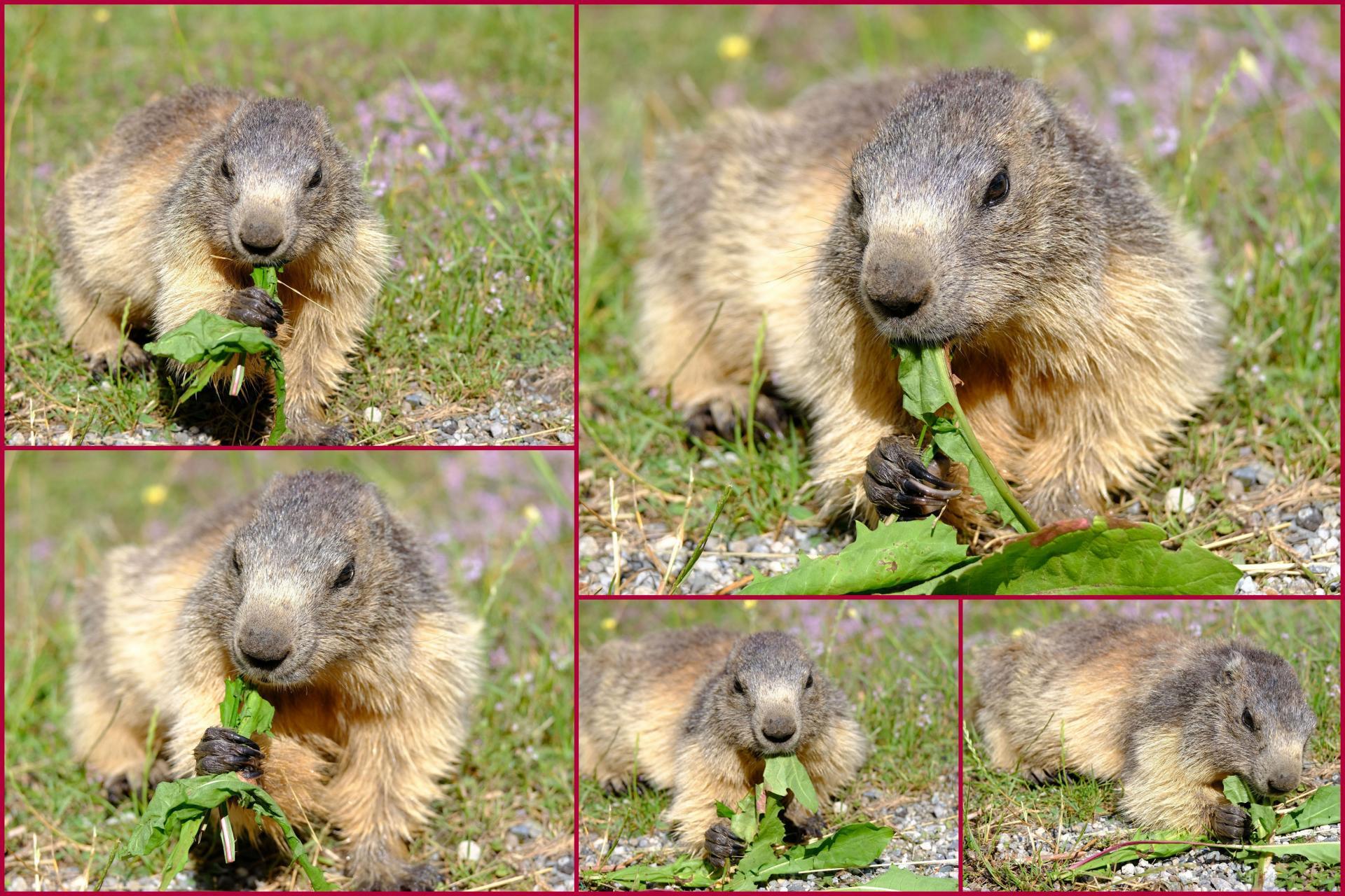 La marmotte qui mange
