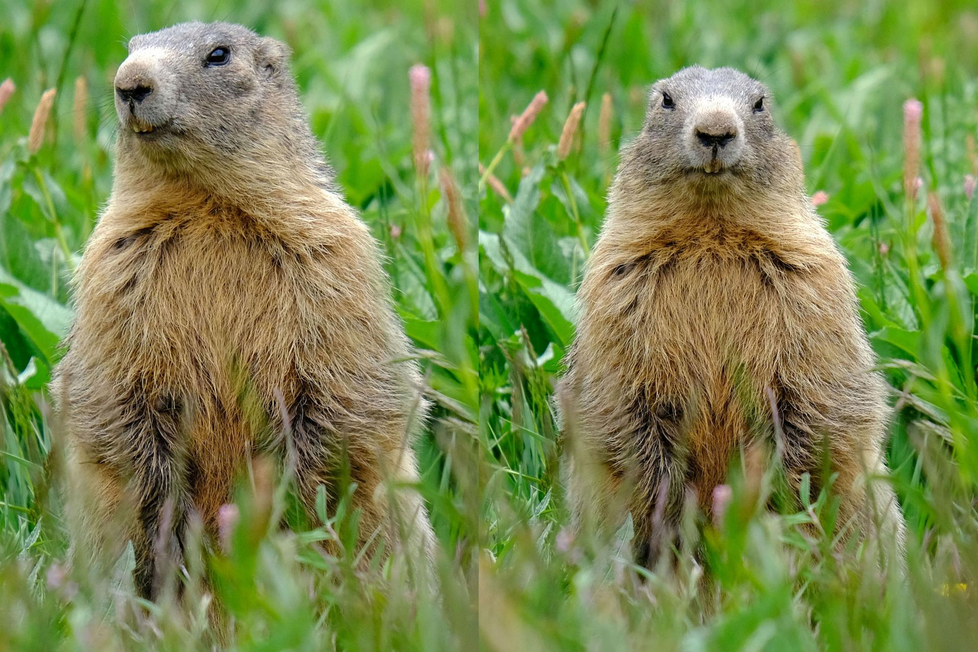 Maman marmotte pm